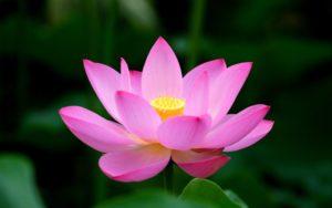 Lotusblomman symboliserar den största av tranformationer, återfödelse. Bilden är lånad från http://mythologian.net/lotus-flower-meaning-symbolism/