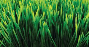 Färskt vetegräs, supergrödan som boostar bland annat med klorofyll. Bilden har jag lånat från Superfruit.